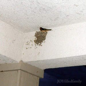 Swallow on St. Joseph's feast day